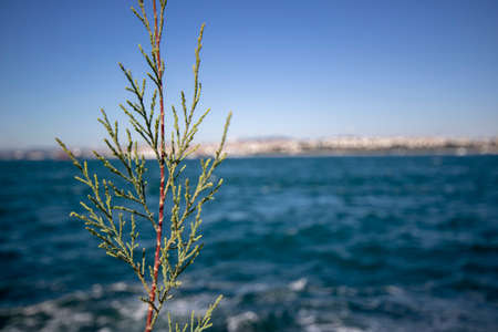 eastern redcedar tree leaves close-up. Blurred background of sea and sky.