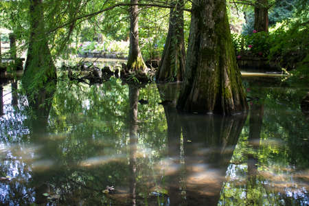 Tree roots in water in forest. Daylight is reflected on the surface of the water.