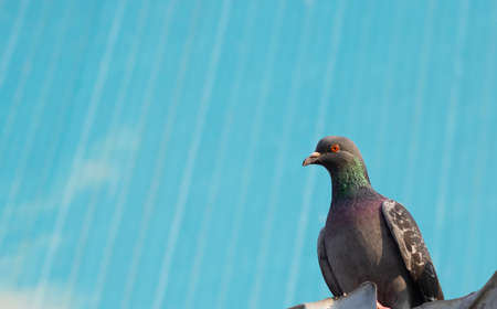 Pigeon close-up. Its gray and on the right side of the photo. He has orange eyes. Abstract background in light blue color.