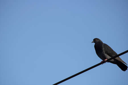 A single pigeon on electrical wires. Blue sky in the background. Close up.