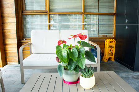 Red flamingo flowers, Anthurium andraeanum, photo of the plant. In flowerpot on the wooden table. Photographed inside the house. Stock Photo