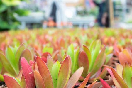 Crassula Capitella plant's photo. It was taken in a store selling garden products. Reklamní fotografie
