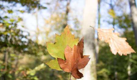 Dried yellow sycamore leaves are held in hand. Withdrew in the forest.