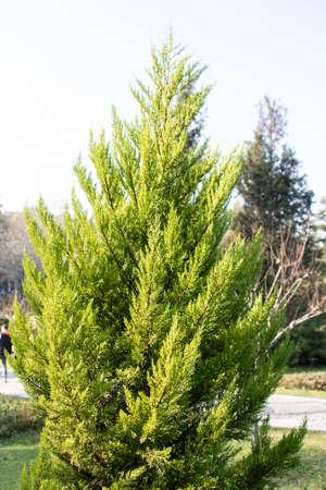 Photo of the leaves of Chamaecyparis obtusa tree.