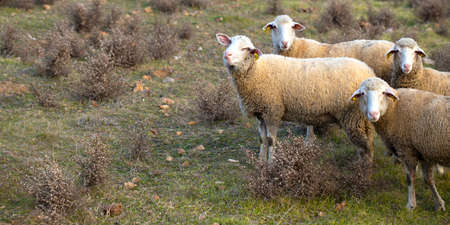 Curious sheep gaze. On the grass in the farm. Stock Photo