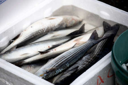 Fish in a white box with water on the fishing line. A few of them are alive. Stok Fotoğraf