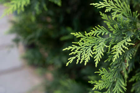 Eastern Thuja tree close-up. In the background, people are blurred. The garden was taken at the market. Zdjęcie Seryjne