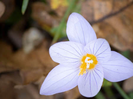Anemone chamomile close-up. Dried leaves are blurred in the background. Focused on flowers. Stock Photo