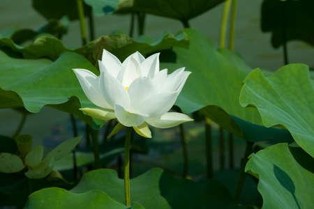 twain: Twain pink water lily flower  lotus