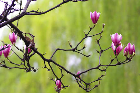 magnolia flowers: Magnolia flowers Stock Photo
