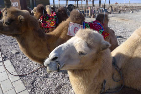 jiayuguan: Close up of camels at the Jiayuguan, Gansu