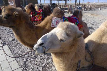 jiayuguan: Close up of camels at the Jiayuguan, Gansu