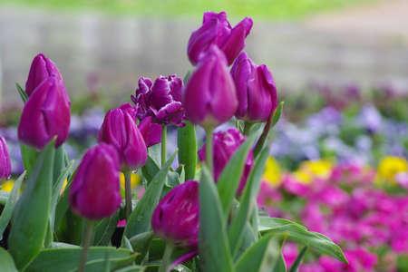 The tulip photo