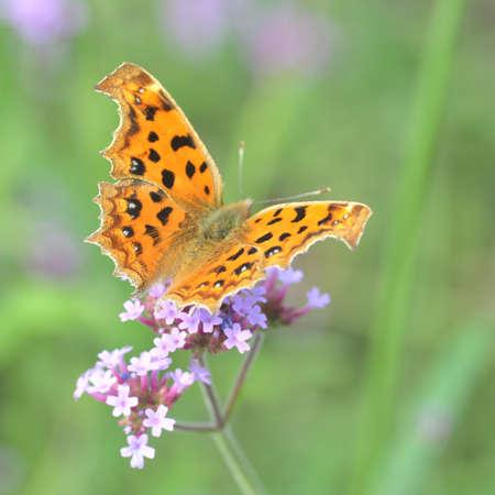 purple flowers: A butterfly stay on the purple flowers