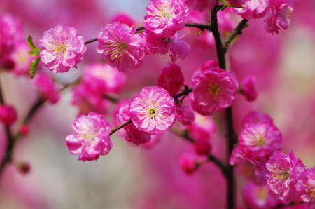 horizontal format horizontal: The plum flower blooming Stock Photo