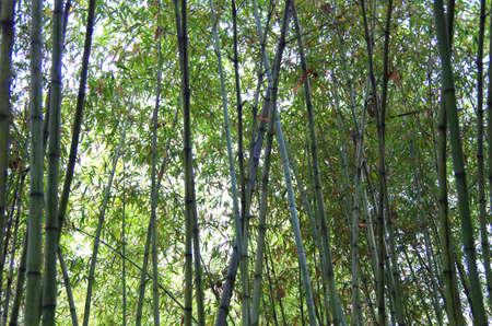 bamboo. Фото со стока