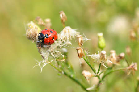 lady beetle: lady beetle