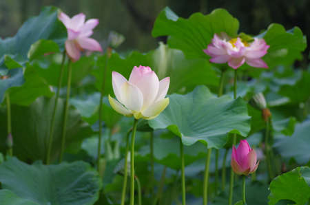 color silence: lotus flowers
