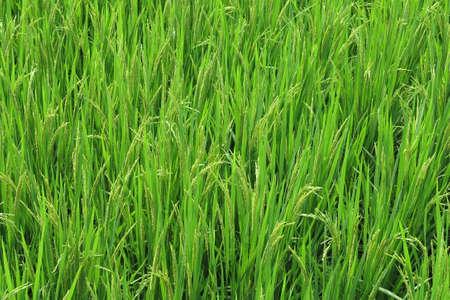 rice fields: Rice fields, the movie
