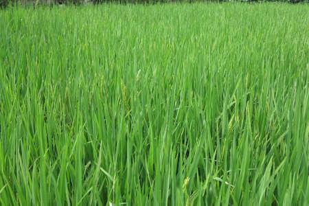 rice fields: Rice fields