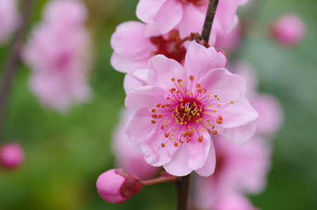 The plum flower blooming Stock Photo