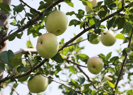 Fresh apples on apple tree branch