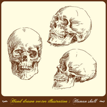 human skull - hand drawn  Vector