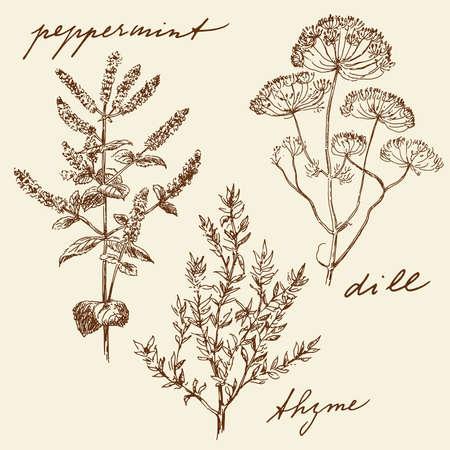 tomillo: dibujados a mano las hierbas