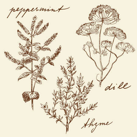 mint leaves: hand drawn herbs