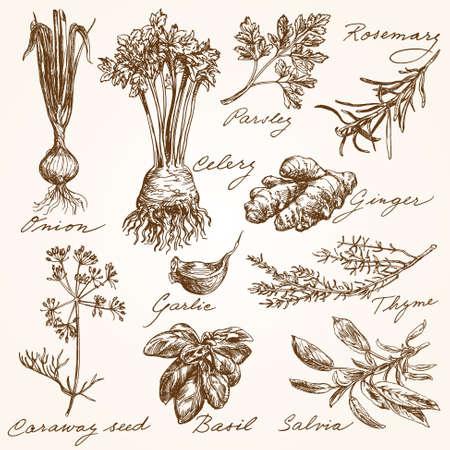 albahaca: Colección de las hierbas dibujados a mano