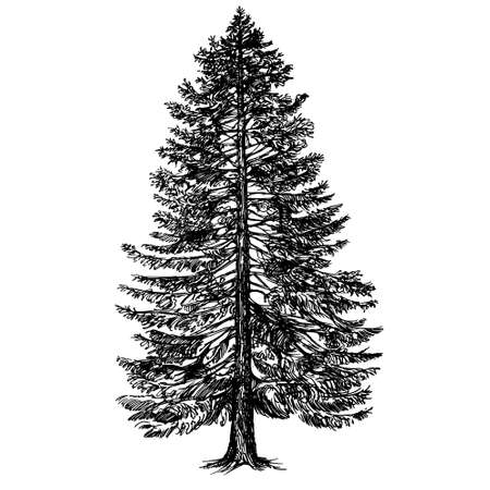 pine tree silhouette: Hand drawn coniferous tree. Illustration