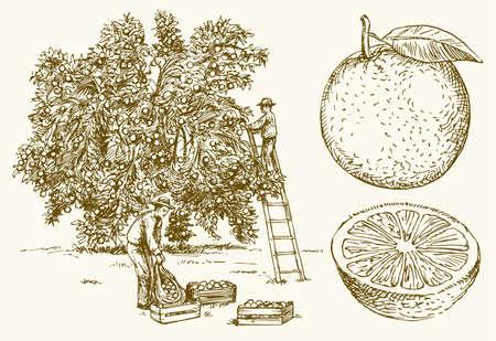 Farmer harvesting oranges in an orange tree field. Hand drawn vector illustration. Ilustração