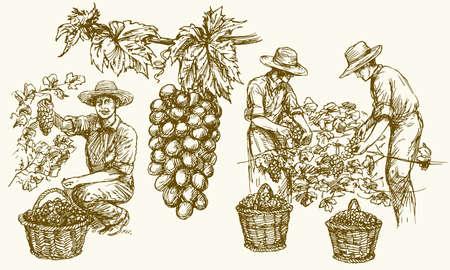 Arbeiter schneiden Trauben aus Reben. Hand gezeichnete Abbildung.