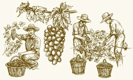 Ouvrier coupant les raisins des vignes. Illustration dessinée à la main. Vecteurs