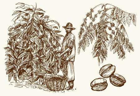 Coffee farmer picking coffee beans on coffee tree.