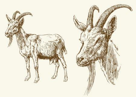 ヤギ。手描きのイラスト。