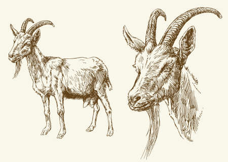Goat. Hand drawn illustration.