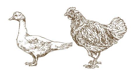 鶏、鶏、手描き、雁の図をスケッチしました。  イラスト・ベクター素材