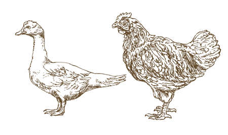 Chicken, hen, goose  in hand drawn, sketched illustration.