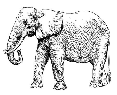 アフリカゾウは白い背景に隔離された。  イラスト・ベクター素材