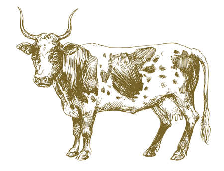 American cow, hand drawn illustration  イラスト・ベクター素材