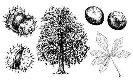 Horse Chestnut or Conker Tree. Illustration