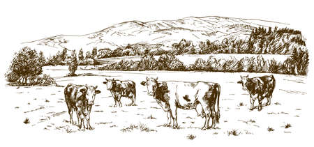 Cows grazing on meadow. Hand drawn illustration.