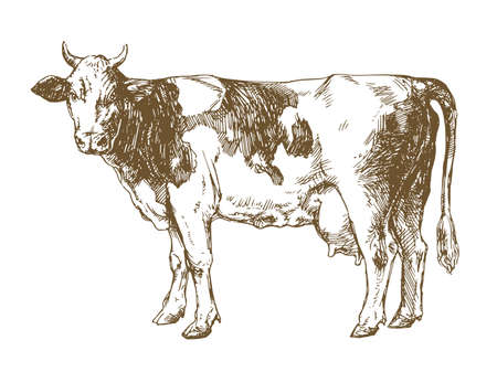 Cow standing in front of white background Illustration