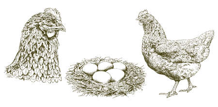 Chicken, hen, eggs in a nest, hand drawn illustration.