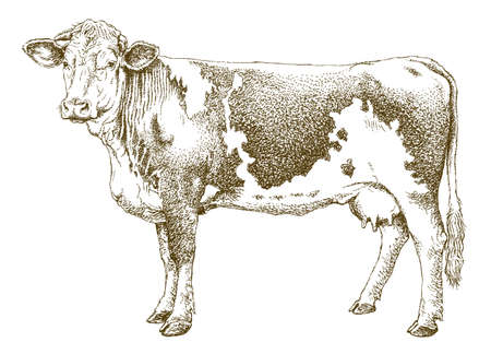 Cow isolated on white, hand drawn detailed drawing.