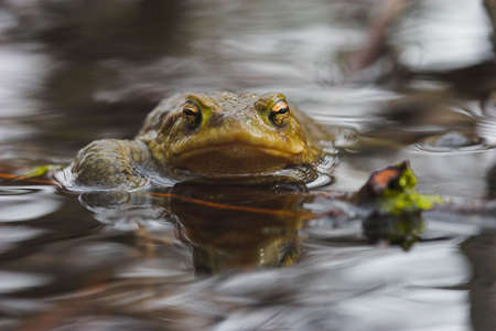 toad (bufo bufo), returned to water for pairing photo