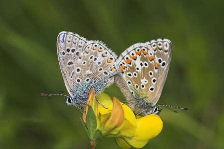 butterflies, pairing (polyommatus icarus) Stock Photo - 291276