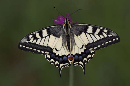 papilio: swallow tail, one of the nicest butterflies, very small depth of field