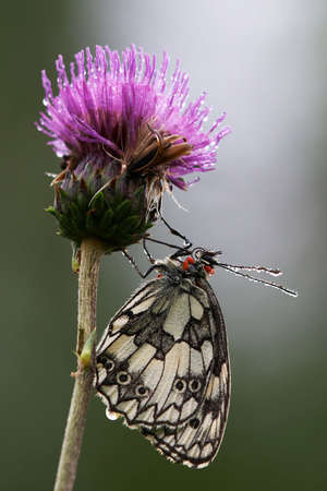 feeler: chessboard butterfly (melangaria galathea)  in the morning dew, with dew drops on feeler, sitting on a thistle Stock Photo